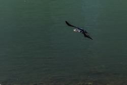crow flying above river salzach in sunshine