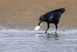 Crow hunting fish in water