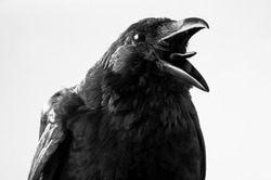crow in studio