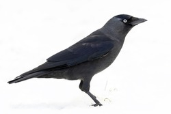 Crow In The Snow Stock Photo