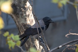 crow in tree branch, raven - bird, plane tree bud and small leaves, burgeon,