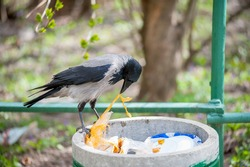 Crow is looking for food in the garbage