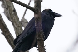 crow is on the branch