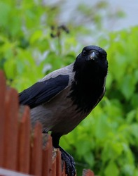 Crow looking at me over my garden fence