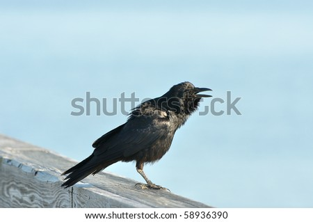 Crow on a pier rail with blue background