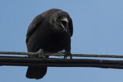 Crow on guard