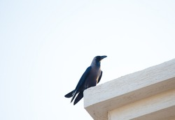 Crow on roof Large black crow perched on roof ledge