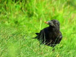 crow on the grass, crow Crow eating food. bird crow.