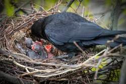 Crow parents feeding young baby crows, hatchlings, koels, cuckoos, in the nest