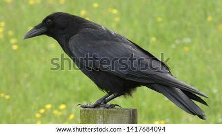 Crow perched on a post in sunshine