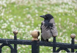 crow perched on metal fence, green background,