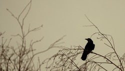 Crow sitting on a limb of a tree