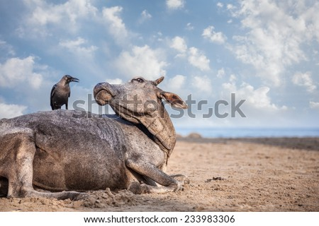Crow sitting on the cow at the beach in India