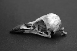 Crow Skull in black and white
