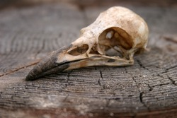 Crow Skull on a wooden stump