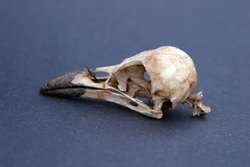 crow skull on black background