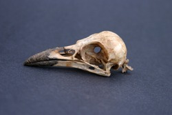Crow Skull on black paper