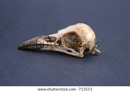 Crow Skull on black paper - stock photo