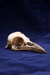 Crow Skull on blue velvet