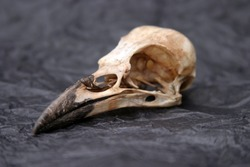 Crow Skull on crumpled black tissue paper