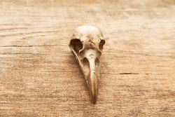 Crow skull on wooden background close up
