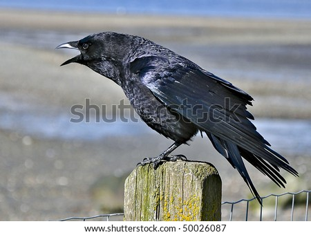 Crow squawking on fence post
