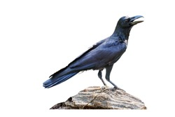 Crow stand on the timber on a white background