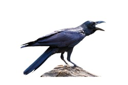 Crow stand on the timber on a white background file