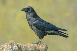 crow, the most intelligent bird, perched on a branch