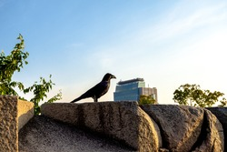 Crow watching over the city
