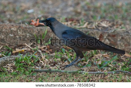 crow with a foot of an rooster in his beak