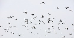 Crowd of bird flying over sky