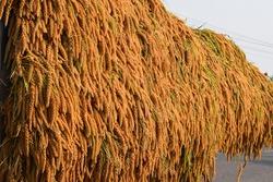 Crowded sheaves of Mochi-Awa,Japanese foxtail millet.Magic of millet,organic plantWhole grain for health,Diabetic friendly,gluten free,ayurvedic,antioxidants,heart friendly,kids health.