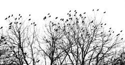 Crowded tree of birds in winter time, Czech Republic