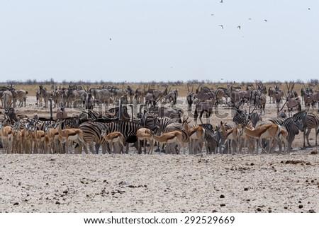 Crowded waterhole with Elephants, zebras, springbok and orix. Etosha national Park, Ombika, Kunene, Namibia. True wildlife photography #292529669