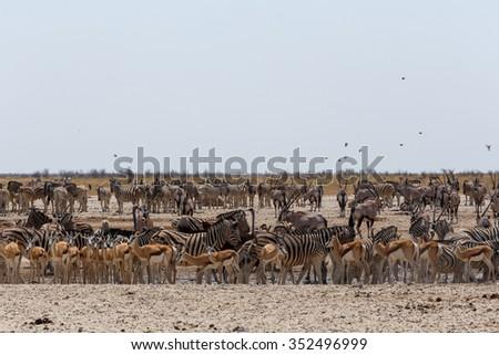 Crowded waterhole with zebras, springbok and orix. Etosha national Park, Ombika, Kunene, Namibia. True wildlife photography #352496999