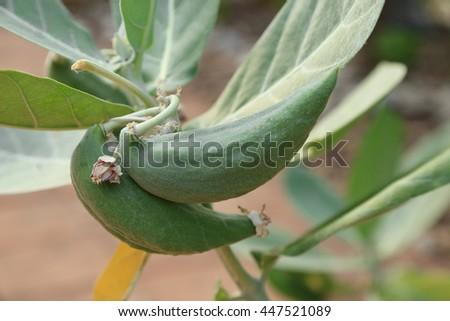 Crown flower pod with seed inside on tree. (Giant Indian Milkweed, Gigantic Swallowwort, Calotropis gigantea)