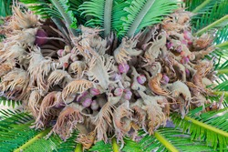 Crown of a palm tree, close-up, with incipient fruits on it.