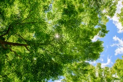 crown of a young, green maple tree, against the blue sky.
