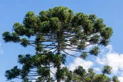 crown of araucaria tree, which produces pinion