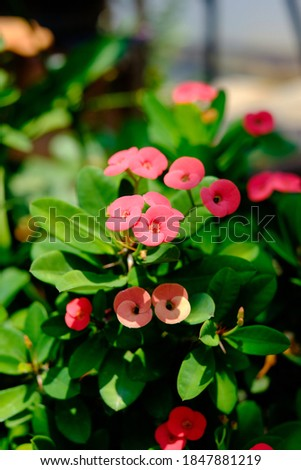 Crown of Thorns flower. Red flower with thorns. Euphorbia milii Desmoul. thorn tree Crown of thorns plant, Euphorbia splendens Bojer ex Hook.f.