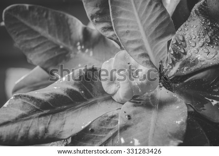 Crown of thorns flowers and worm , Euphorbia milli Desmoul , black and white #331283426