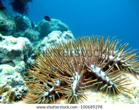 Crown of Thorns Starfish in Indonesia