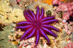 Crown of Thorns Starfish (Purple Variant) Thailand