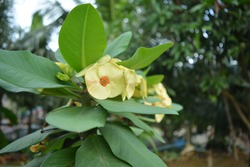 Crown of thorns. Yellow flowers with thorns. Euphorbia milii Des Moul. of thorns Crown of thorns