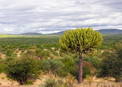 Crown profile of  euphorbia or candelabra tree growing in the African savanna. Typical euphorbia tree against the backdrop of  celestial landscape in the bush of South Africa.