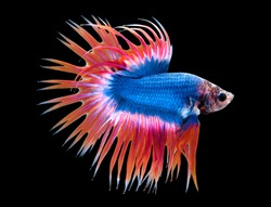 Crown tail Betta fish (Siamese fighting fish) has a colorful body and tail . The black background makes the fish look distinct and good macro detail.This wildlife from asia thailand. CT Thailand flag.