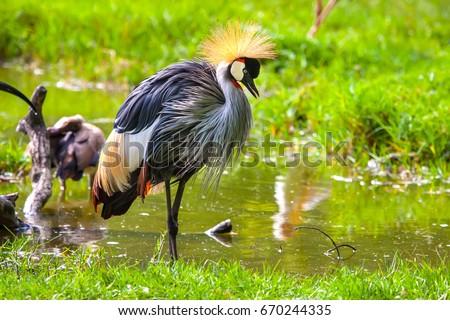 Shutterstock Crowned Crane. Africa Kenya.