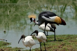 Crowned crane (Balearica regulorum) most beautiful multiple colors with golden head hair as Uganda national bird living around the lake amonst African Sacred Ibis family
