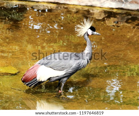 crowned crane in the water #1197646819